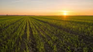 T/L 8K shot of wheat plants at sunset video