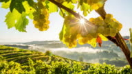 T/L 8K shot of white grapes at sunrise video