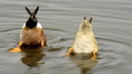 Shoveler ducks pair with bottoms up as they search for food video