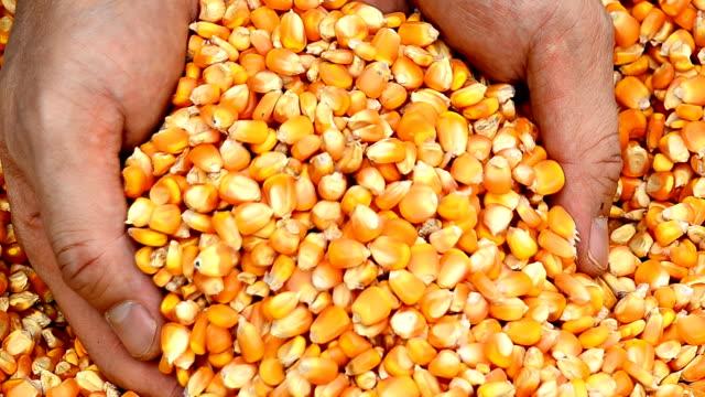 showing freshly harvested corn grains video