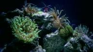 shrimp on anemone video