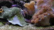 Shrimp walking on the coral. video