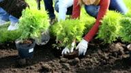 Shrub planting video