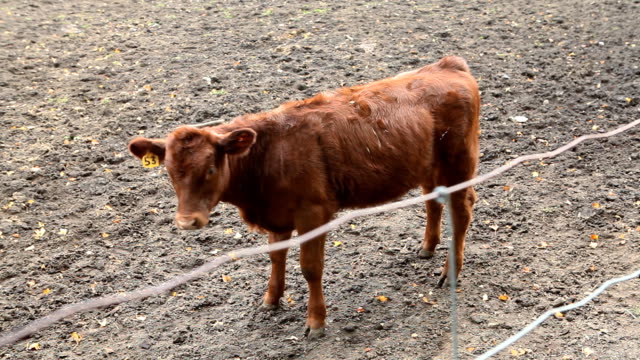 Shy Calf Hanging Around on Farm video