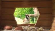 Shy House Sparrow video