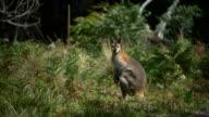 Shy Kangaroo video