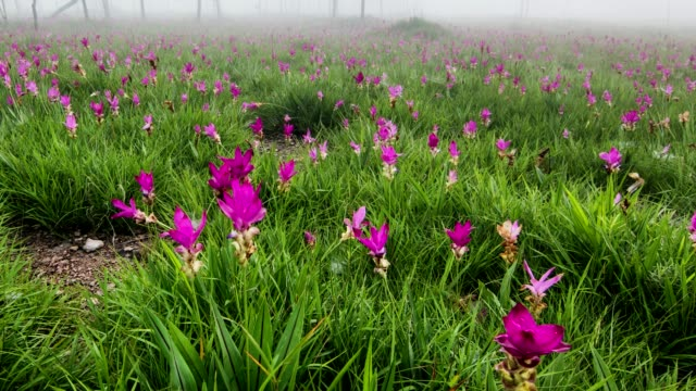 Siam tulip, the pink flowers in Chaiyaphum province, Thailand. video