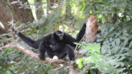 Siamang (a kind of Gibbon) family video