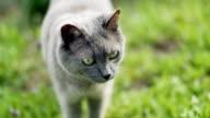 Siamese cat in nature video