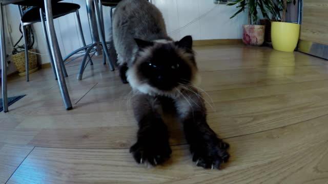 Siamese cat stretches video