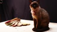 Siamese cats longevity video