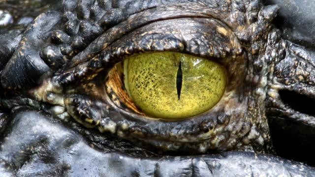 Siamese Crocodile eye video