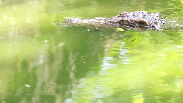 Siamese crocodile in green swamp video
