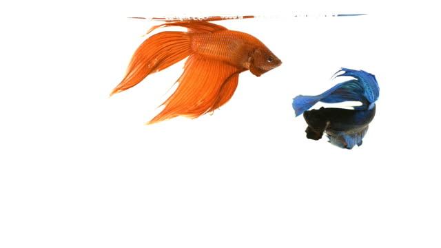 Siamese fighting fish . video