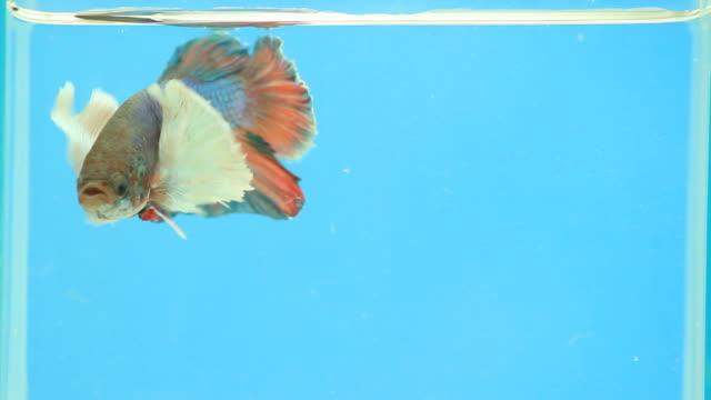 Siamese fighting fish. video