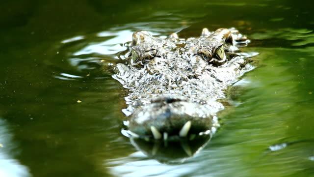 Siamese freshwater crocodile video