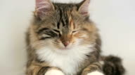 Siberian breed cat on a gray background. video