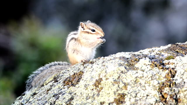Siberian chipmunk with a blueberry video