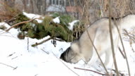 Siberian Husky is digging a pit in a snowdrift. video