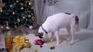 Siberian husky opening gift near xmas christmas tree video