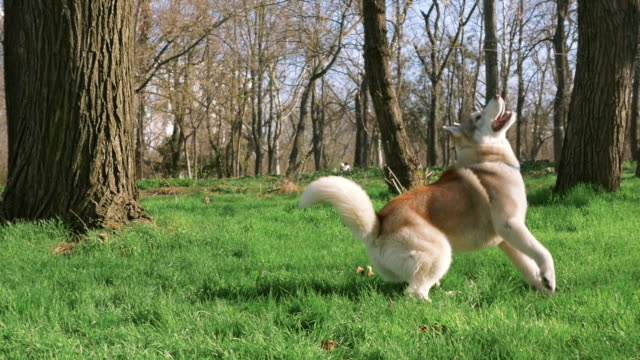 Siberian Husky playing in the park with, slow motion video