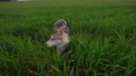 Siberian Husky sitting on green grass video