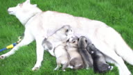 Siberian puppy eating milk video