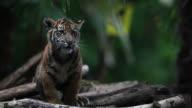 Siberian tiger cub video