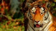 Siberian Tiger Facing the Camera video