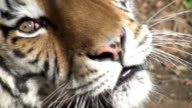 Siberian tiger relaxing in forest video