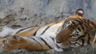 Siberian tiger resting, close-up, 4K(UHD) video