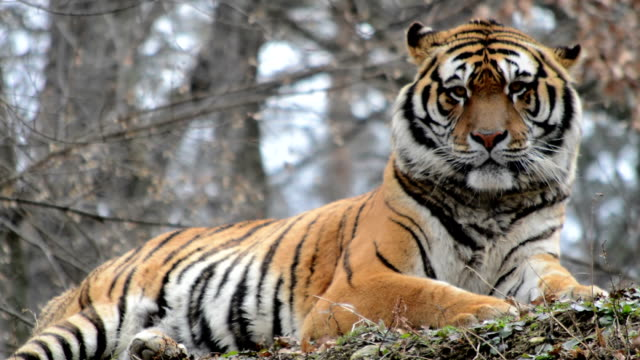 siberian tiger video