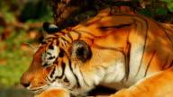 Siberian Tiger Yawning video