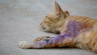 Sick cat with a wound video