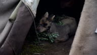Sick Fawn in the tent. The Yamal Peninsula. video
