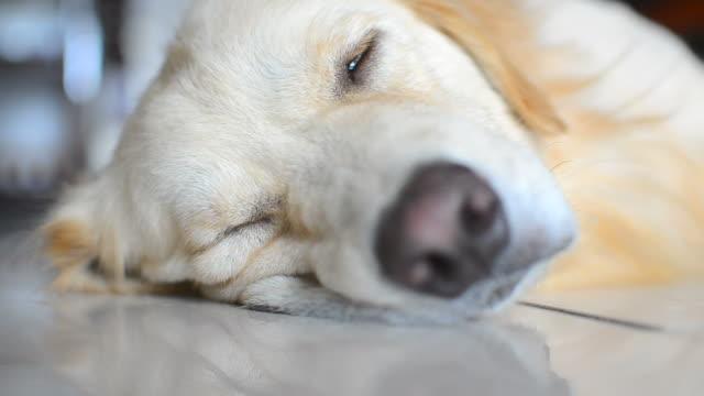 Sickness Golden Retriever Dog video