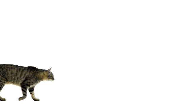 Side view of a cat walking video