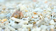 side view: tiny Hermit crab walk video