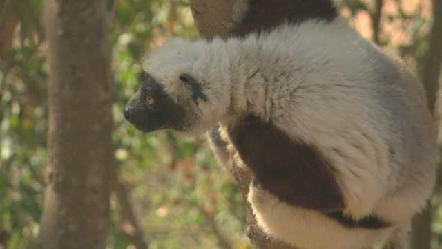 Sifaka Lemur looking HQ 4:2:2 video