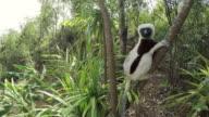 Sifaka Lemurs climbing a tree video