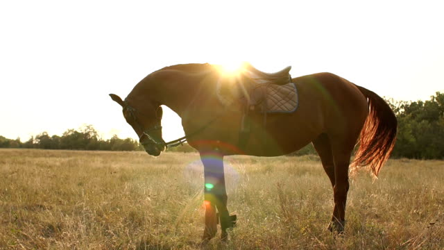 Silhouette of a beautiful brown horse at sunset. video