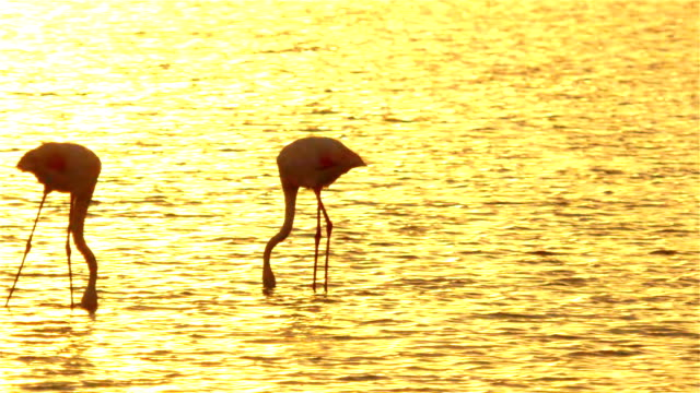 Silhouette of beautiful pink flamingos searching for food in water video