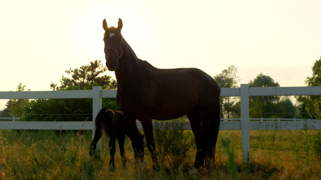 CLOSE UP: Silhouette of mother mare with baby horse on pasture field at sunset video