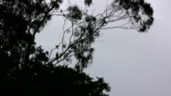 Silhouetted Australian Birds Flying to Gum Tree video