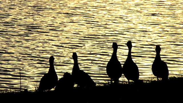 Silhouetted lakeside ducks on grass with golden sunset colors video