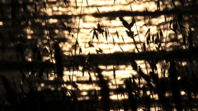 Silhouetted Wheat on Gold (HD) video