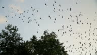 Silhouettes of crows flying over trees. video