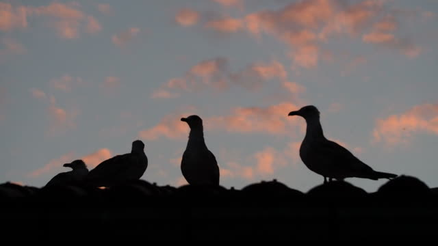 Silhouettes of Seagulls On Roof video