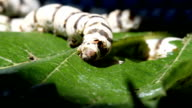 Silkworm eating Mulberry Tree leaf. video