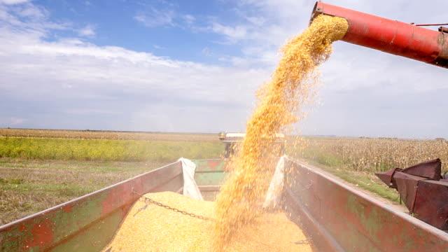 Silos harvester pouring grain video